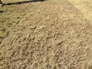 """Universe"" Fraze Mowed Bermudagrass"