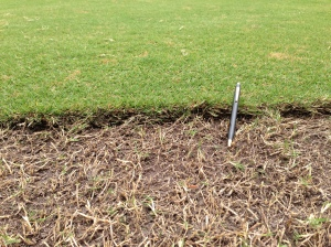 Mat of Thatch & Organic on 419 Removed to Expose Stolons & Rhizomes