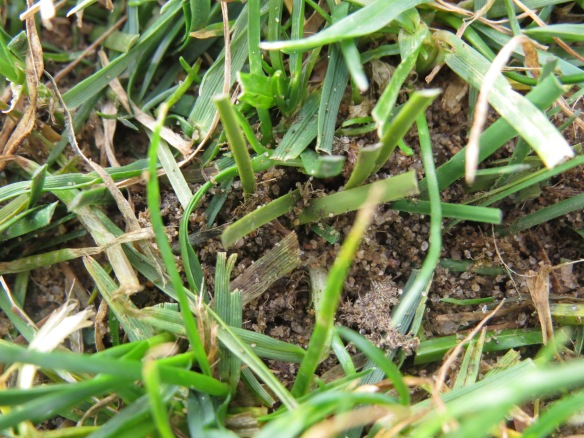 Synthetic fibers: smooth; RPR ryegrass: veins
